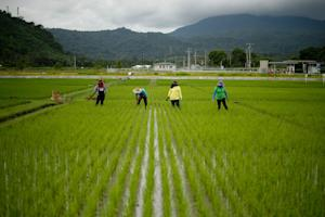 Farmers work in a rice field near the International …