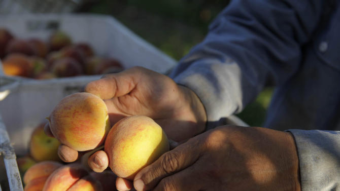 In this photo taken on Friday, June 7, 2013, farmer David Mas Masumoto inspects just-harvested peaches in his orchard in Del Rey, Calif. The Masumotos, a fourth generation farming family, have seen the disappearance of family farms swallowed by giant agribusinesses, the turn toward organics, and the resurgence of small farm culture. (AP Photo/Gosia Wozniacka)