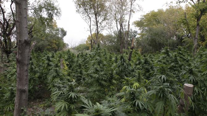 Marijuana plants are seen in Chicago where officers say they discovered two football fields worth of pot plants growing on the city's South Side, Wednesday, Oct. 3, 2012. Authorities say more than 1,000 cannabis plants were discovered during a helicopter operation Tuesday. Some were as tall as Christmas Trees. (AP Photo/Teresa Crawford)