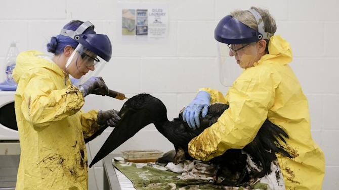 Staff members and volunteers work to clean oil off a brown pelican at the International Bird Rescue office in the San Pedro area of Los Angeles, on Friday, May 22, 2015. A broken onshore pipeline in near Santa Barbara, Calif., spewed oil down a storm drain and into the ocean for several hours Tuesday before it was shut off. (AP Photo/Chris Carlson)