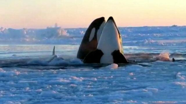 Killer Whales Trapped Under Sea Ice