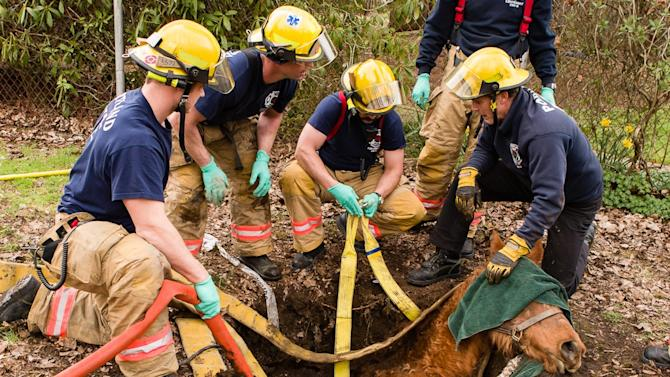 Portland Fire and Rescue personnel work to extricate 34-year-old quarter horse Roxy after she had fallen into an old septic tank and was unable to get out in Portland, Ore., Monday, March 26, 2012.  The only injury appeared to be a laceration to her front leg, which firefighters bandaged up before a veterinarian arrived.The horse was stressed out and shaking after the incident, but was able to walk on her own to her barn after a thorough hose bath.(AP Photo/Portland Fire and Rescue, Greg Muhr)