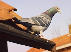 Pigeons Vanish in 'Birdmuda Triangle'