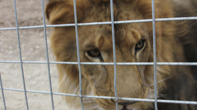 This Oct. 12, 2012 photo released by JP Marketing shows a 4-year-old male African lion named Couscous at Cat Haven, a private wild animal park in Dunlap, Calif. Authorities say the lion killed a female intern-volunteer on Wednesday, March 6, 2013, at Cat Haven, where the cat had been raised since it was a cub. The intern was attacked and fatally injured after getting into an enclosure with the lion, Fresno County sheriff's Sgt. Greg Collins said. (AP Photo/JP Marketing, Vicken Massoyan)