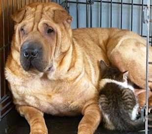 This Shar-Pei is finally a mom -- to a kitten