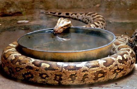 An Indian rock python drinks water inside its enclosure in a zoo during a hot day in the northern ...