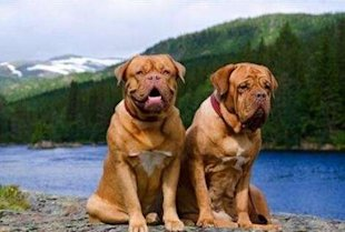 Dogue de Bordeaux via Shutterstock