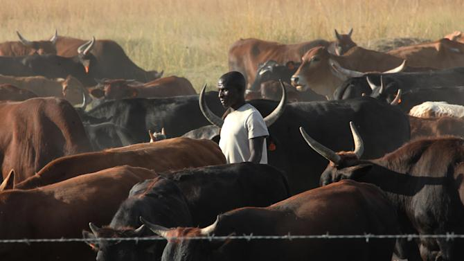 "In this photo taken Tuesday, April 23, 2013 an unidentified farmer walks among his cattle on land near Harare. The nation's first ""Cattle Bank"" has just opened its books in a unique kind of banking where owners are being asked to bring in their animals as a cash deposit enabling them to withdraw and borrow money against their value while retaining ownership (AP Photo/Tsvangirayi Mukwazhi)"