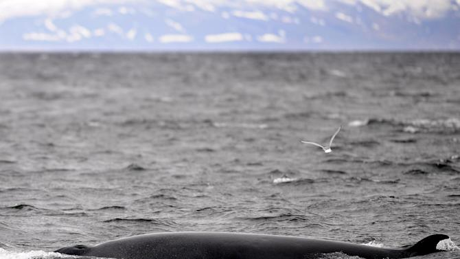 A Minke whale swims near a whale-watching boat off Reykjavik on April 23, 2009