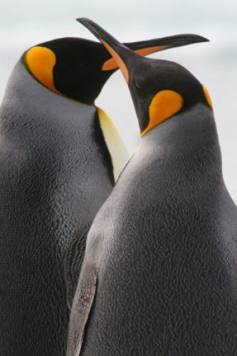 Penguin Male and Female