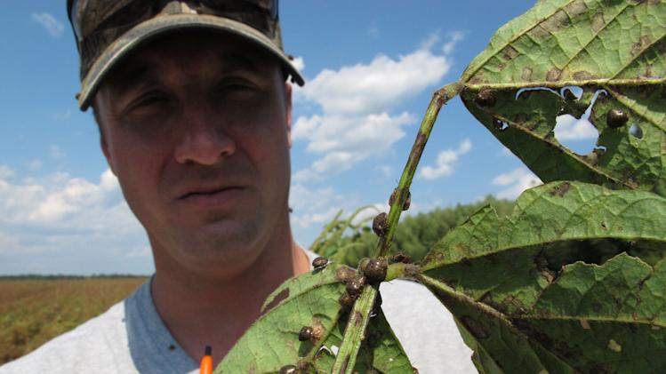 "In this Sept. 30, 2011 photo, Clemson University entomologist Jeremy Greene shows a soybean plant from a test plot in Blackville, S.C.  The plant is covered in ""kudzu bugs,"" an Asian pest that is wreaking havoc on U.S. soybean crops. (AP Photo/Allen Breed)"