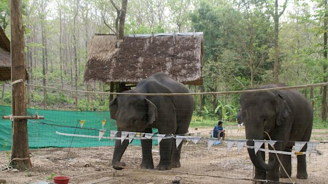 In this 2009 picture provided by Think Elephants International, two elephants pull a platform with a food reward, designed only to work with the cooperation of two animals, at the Thai Elephant Conservation Center in Lampang, Thailand. Animal researchers in recent years are finding that thought processes in animals aren't a matter of how closely related they are to humans. You don't have to be a primate to be smart. (AP Photo/Think Elephants International)