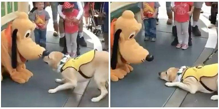 Guide Dog In Training Loses His Cool When He Meets Pluto at Disneyland