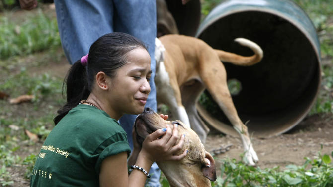 Jonika Pinon, a volunteer of the Philippine Animal Welfare Society (PAWS), pets a pit bull, one of more than 200 rescued from South Korean nationals over the weekend, Tuesday, April 3, 2012 at a coffee farm lot in San Pablo city, Laguna province, south of Manila, Philippines. Dozens of pit bulls, rescued from a dogfighting ring were euthanized starting Tuesday by the animal welfare activists who said there are no facilities to rehabilitate them and prevent them from again being used in underground arenas. (AP Photo/Bullit Marquez)
