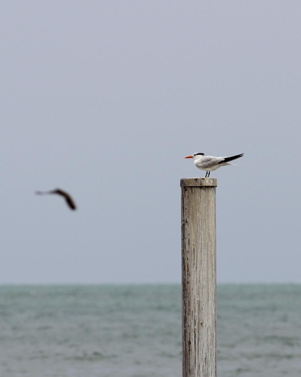 A seagull perches on a post in Key West, Fla., Saturday, Aug. 25, 2012,  Saturday, Aug. 25, 2012. Tropical Storm Isaac's winds are expected to be felt in the Florida Keys by sunrise Sunday morning. (AP Photo/Alan Diaz)