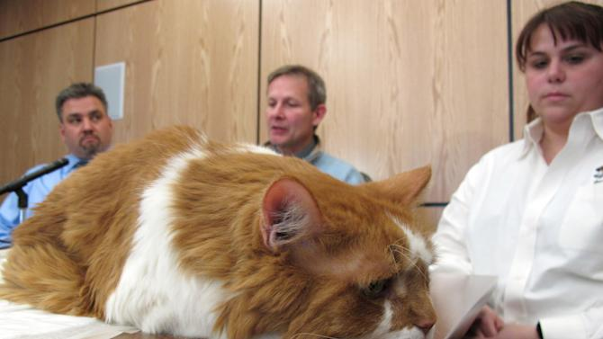 Cyrano lies on a table during a news conference at North Carolina State University in Raleigh, N.C., on Wednesday, Jan. 25, 2012. The 10-year-old tabby from Upperville, Va., received a groundbreaking total knee replacement on Thursday. In the background, from left to right, are engineer Ola Harrysson, surgeon Denis Marcellin-Little and handler Crystal Ritenour. (AP Photo/Allen Breed)