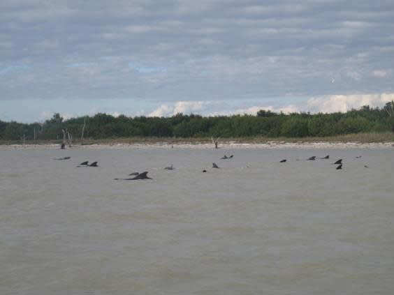 A group of stranded short-finned pilot whales are seen stranded in shallow waters in Everglades National Park, Florida