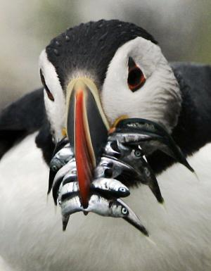 FILE - In this file photo made in July 2007 an Atlantic puffin with a beak crammed with hake makes its way to a burrow to feed its chick, Monday July 9, 2007, on Eastern Egg Rock, Maine. Puffins raise one chick per year. Scores of puffins were found washed ashore in New England, with necropsies suggesting they starved to death. (AP Photo/Robert F. Bukaty, file)