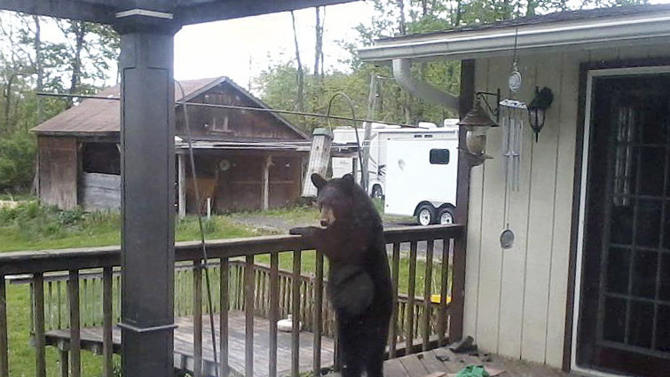 In this May 9, 2012 photo provided by Donna Wiltsie, a bear searches a porch for food in Catskill, N.Y. With their normal summer diet of greens and berries shriveled by summer heat and drought, hungry bears in New York and other states have been rummaging through garbage, ripping through screens and crawling into cars in search of sustenance. (AP Photo/Donna Wiltsie)