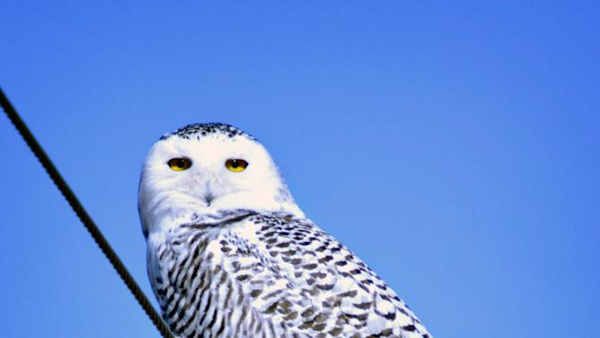 A snowy owl clings to a powerline, Wednesday, Jan. 4, 2012 near Lake Andes, S.D. The Arctic creatures have been seen from coast to coast more frequently this winter  and have reached further south than in past years. (AP Photo/Dirk Lammers)