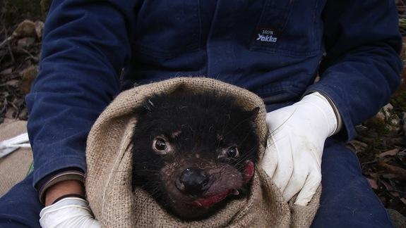 How Contagious Tasmanian Devil Cancer Goes Invisible
