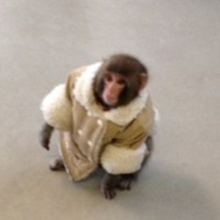 Darwin, a Japanese snow macaques, escaped from a car and began wandering the floors of a Toronto IKEA. Authorities have since taken the domesticated monkey, which is illegal to own in Toronto, to a primate sanctuary.