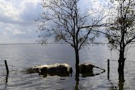 A dead cow and dead horse, right, that were trapped in floodwaters from Hurricane Isaac, lie in floodwaters in Plaquemines Parish, La., Sunday, Sept. 2, 2012. More than 200,000 people across Louisiana still didn't have any power five days after Hurricane Isaac ravaged the state. Thousands of evacuees remained at shelters or bunked with friends or relatives. (AP Photo/Gerald Herbert)