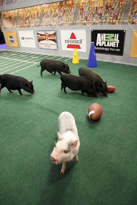The piglets cheer on the pups as seen on &quot;Puppy Bowl VIII.&quot; 
