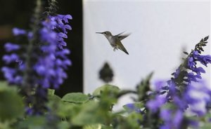 A hummingbird flies in the Rose Garden of the White …