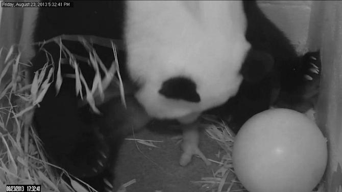 In this image from video provided by the Smithsonian National Zoo, Mei Xiang gives birth to a cub two hours after her water broke Friday, Aug. 23, 2013, at the National Zoo in Washington. The zoo has been on round-the-clock panda watch since Aug. 7, when Mei Xiang began showing behavioral changes consistent with a pregnancy or pseudopregnancy. (AP Photo/Smithsonian National Zoo)