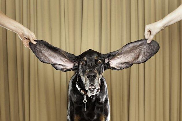 In this photo taken Oct. 10,2010 showing Harbor, an 8 year old coonhound from Bolder Co. displays his winning ears after winning a Guinness World Record titlefor 2012 for the Dog With The Longest Ears