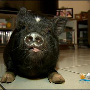 Owners Grateful To Have Pet Pig Back At Home