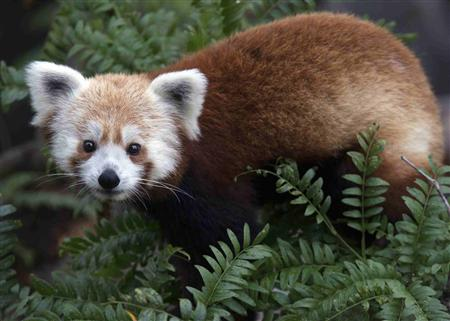 Missing red panda found in Washington DC neighborhood