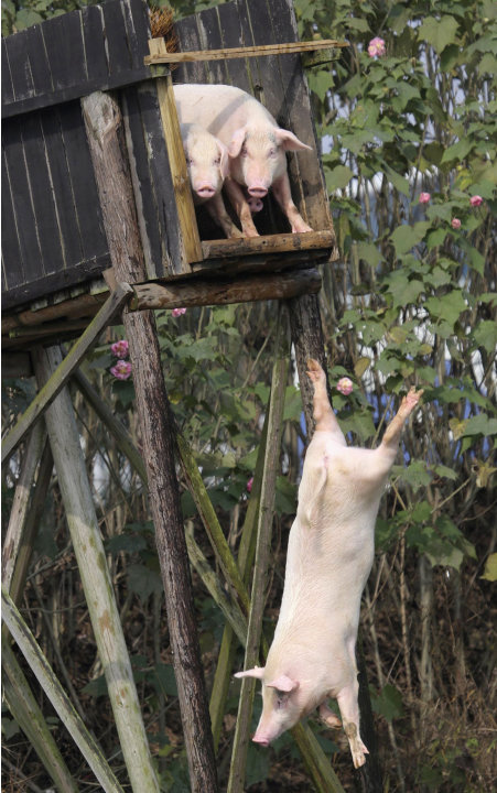 A pig dives into the water in Ningxiang county