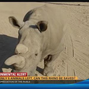 With only 5 animals left, can this rhino be saved?