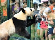 Visitors look at Huan Huan, one of the two giant pandas which arrived last winter in France from China, at Beauval zoo in Saint-Aignan, central France. Like many French couples starting life together Huan Huan and Yuan Zi have moved into a new home, happily go about their daily business, and hopes are high for a baby, but nothing else is normal for the two pandas