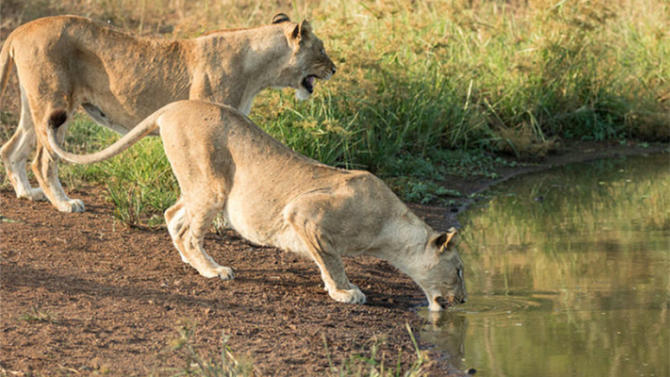 Lions Are Returning to Rwanda, and That's a Boost for Ecosystems and Economies