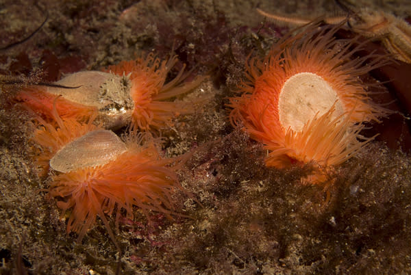 Flaming-Orange Shellfish Reef Found in Scotland