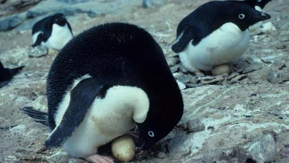 Penguins' Private Lives Recorded in Antarctica