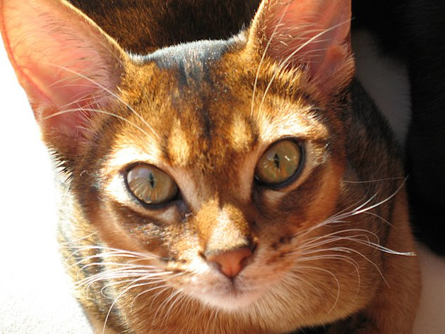 1. Ethiopian or Egyptian Team: Abyssinian cat