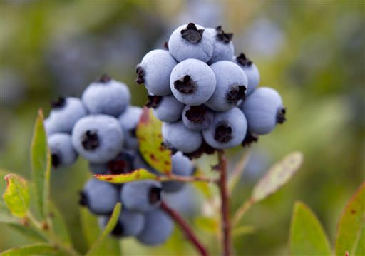 In this photo made Friday, July 27, 2012, wild blueberries are ready for harvesting at the Dolham Farm in Warren, Maine. The state's wild blueberry growers are expecting their biggest harvest in more than a decade. (AP Photo/Robert F. Bukaty)