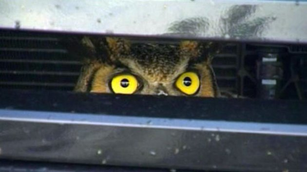 Driver Hits Owl That Survives Miles in SUV Grill (ABC News)