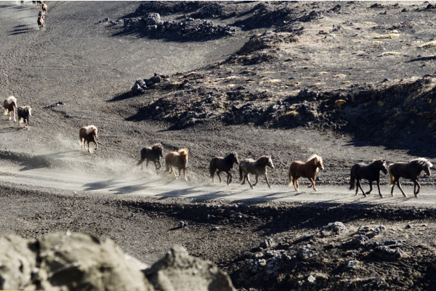 Herd In Iceland