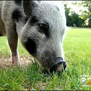 Local Couple: Pigs Are Pets, Not Livestock