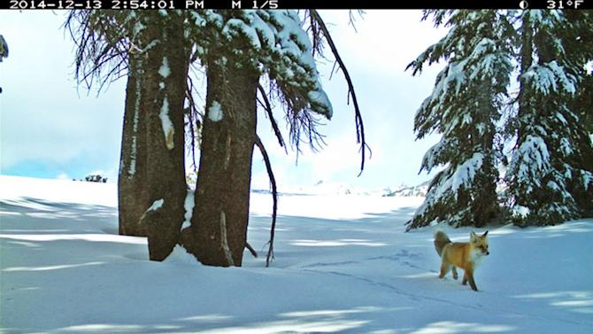 Biologists have spotted a Sierra Nevada red fox at Yosemite National Park in California