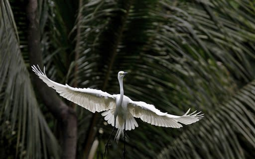An egret flies along the river Brahmaputra in Gauhati, India, Thursday, May 17, 2012. Egrets build their nests on trees along the river Brahmaputra during the monsoon season every year. (AP Photo/Anupam Nath)