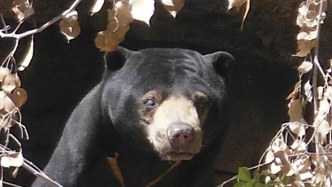 Reid Park Zoo photo of Malayan sun bear named Dresena
