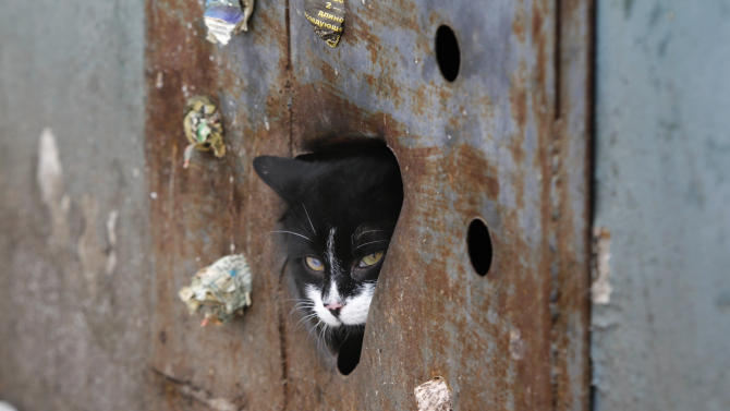 A stray cat looks through a hole in an iron panel covering a basement window in the Belarusian capital Minsk, Monday, Feb. 4, 2013. Municipal authorities in Belarus have walled up stray cats in basements in compliance with Soviet-era regulations, dooming them to death of hunger. But some residents made holes for cats to escape. (AP Photo/Sergei Grits)