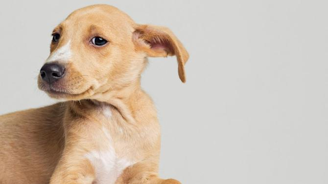 Why Dogs Have Floppy Ears