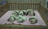 Seven Panda Cubs Make Their Debut In China